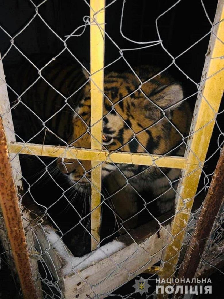 Трех тигриц поместили на карантин в социально-гуманитарном комплексе харьковского экопарка / фото kyiv.npu.gov.ua