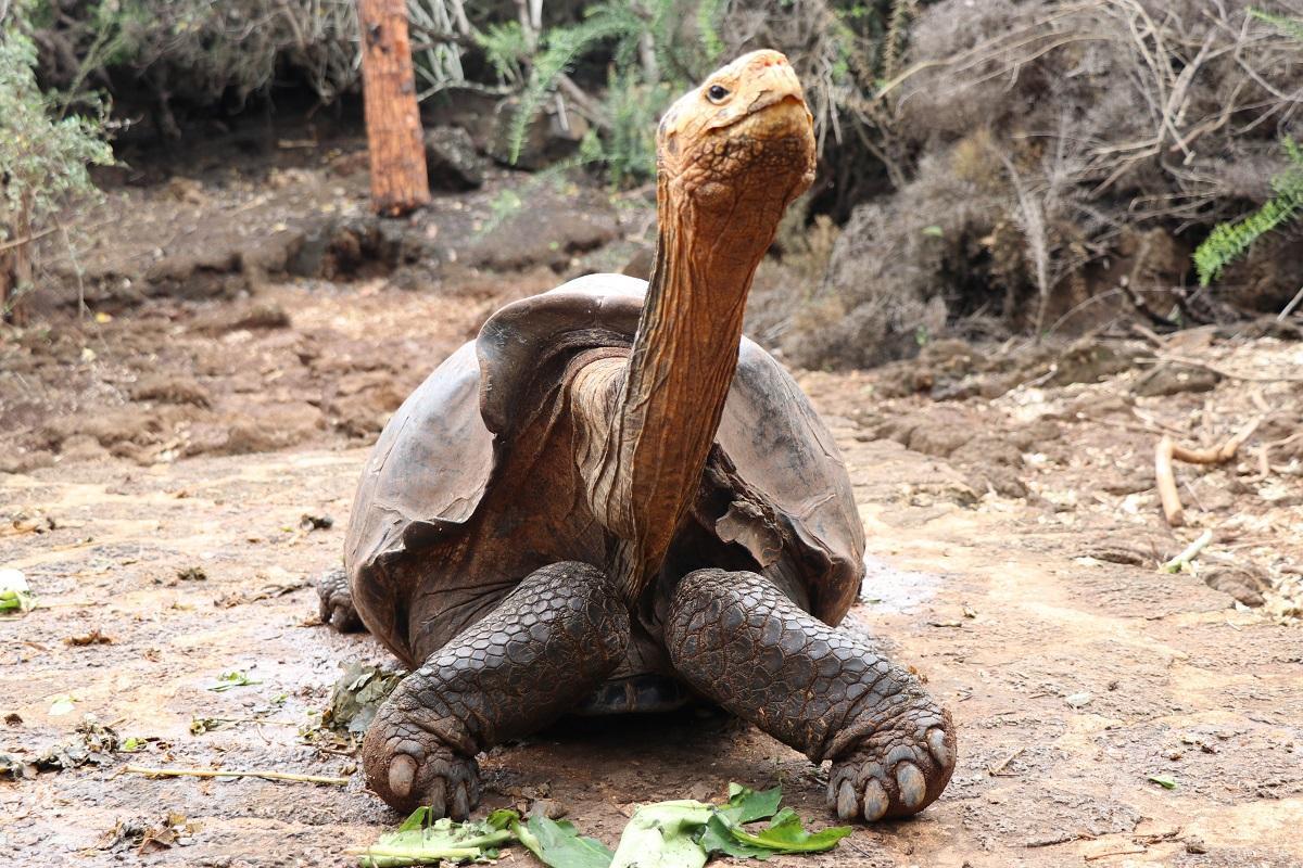 Диего стал отцом сотен черепашек/ Фото: Twitter Галапагосского национального парка