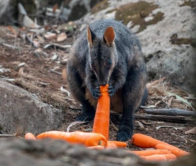 Тонны моркови сбросили, чтобы накормить животных в Австралии / фото: facebook/Matt Kean MP