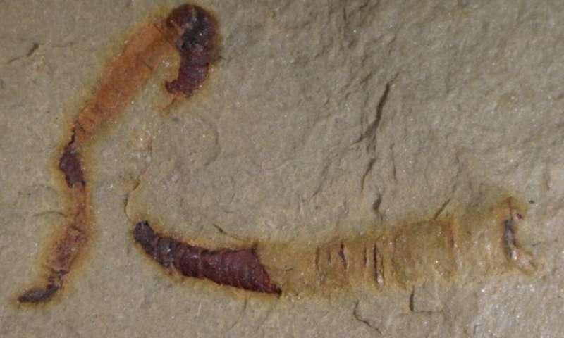 Фрагменти органів -найдавнішіз виявлених останків такого роду / University of Missouri