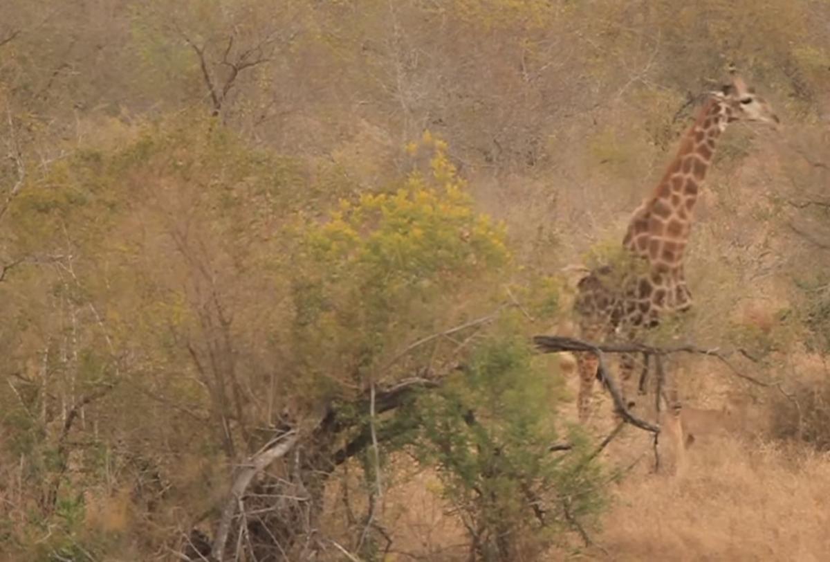 Львицы одна за другой по несколько минут донимали жирафа / скриншот