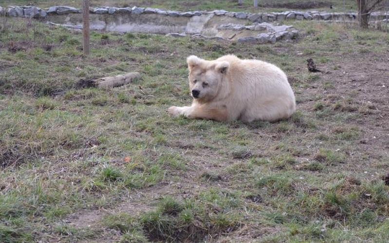 Ведмеді почуваються добре та прогулюються у вольєрах/ фото притулку «Біла скеля»
