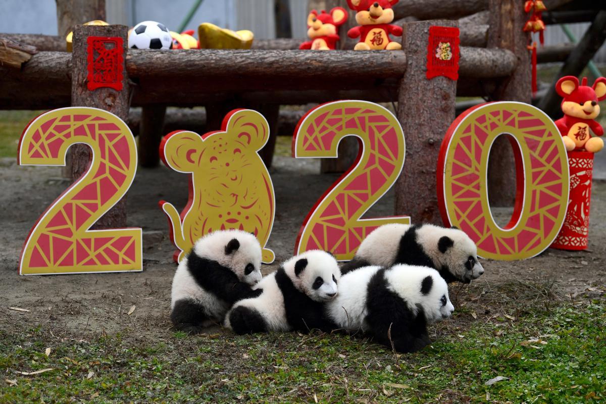 Панди у Китаї / REUTERS