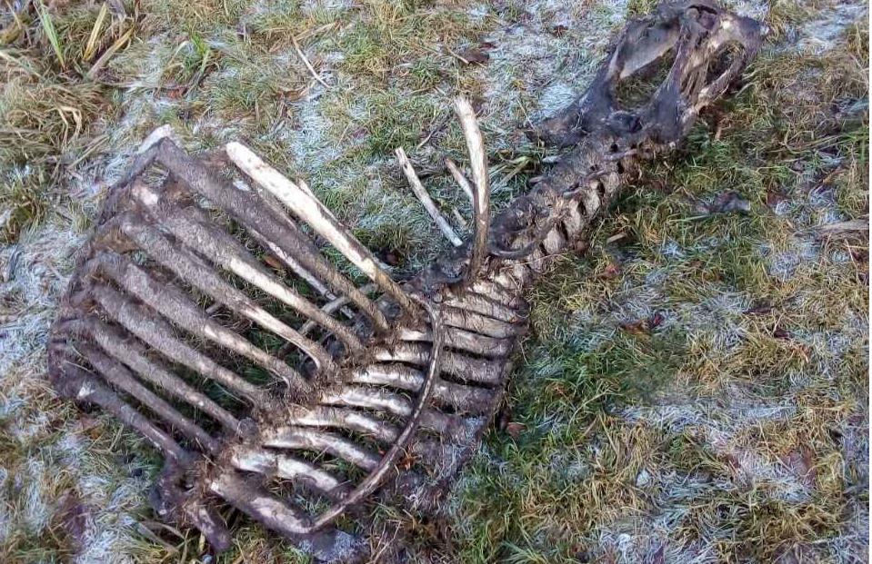 В лісі валяються туші вбитих лосів і оленів / ecoethics.ru