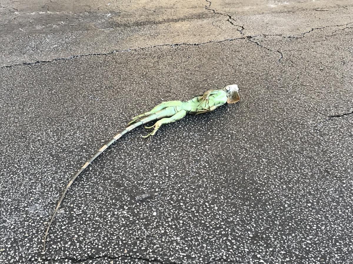 """У Флориді """"заморожуються"""" ігуани / twitter.com/MaxineStreicher"""