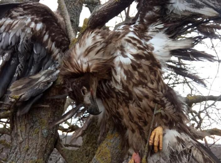 Степной орел занесен в Красную книгу Украины / ria-m.tv