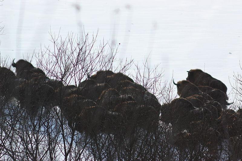 Всего из Винницкой области переселено 34 особи зубра европейского / фото vinwood.gov.ua