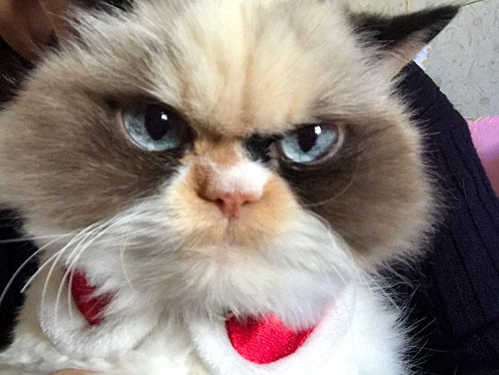 Мяу-мяу внешне очень похожа на умершую Grumpy Cat / фото: boredpanda