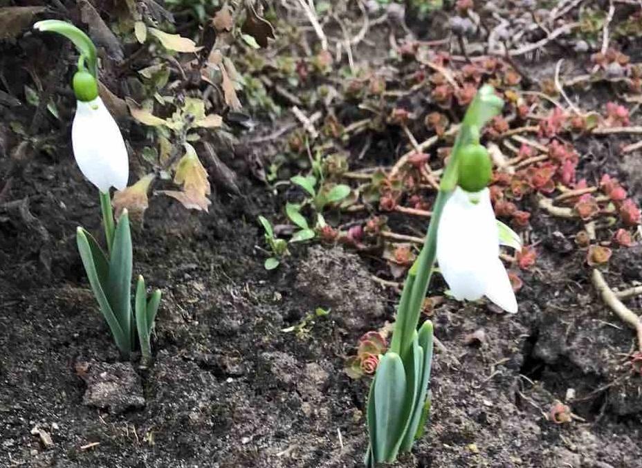 Цвітіння підсніжників зафіксували жителі Лосинівки / фото Facebook-група «Лосинівка і лосинівці»