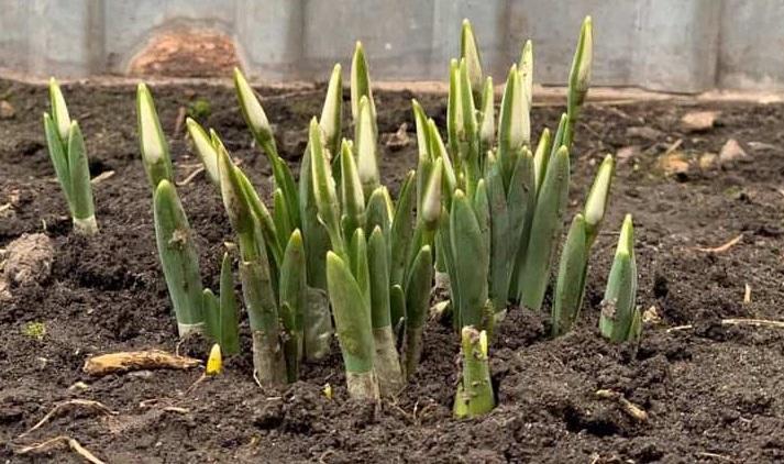Экологи считают, что цветы «путают» теплую зиму с весной / фото Facebook-группа «Лосиновка и лосиновцы»