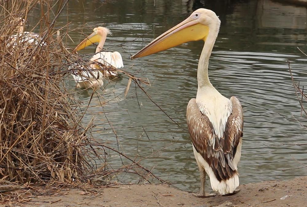 У Харкові пелікан святкує день народження / фото zoo.kharkov.ua/