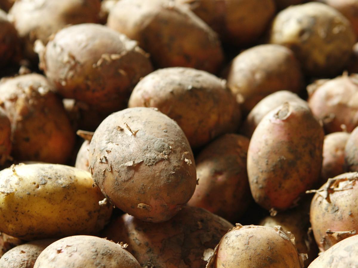 Наращивание экспорта отечественного картофеля объективно сдерживает структура его производства / Фото REUTERS
