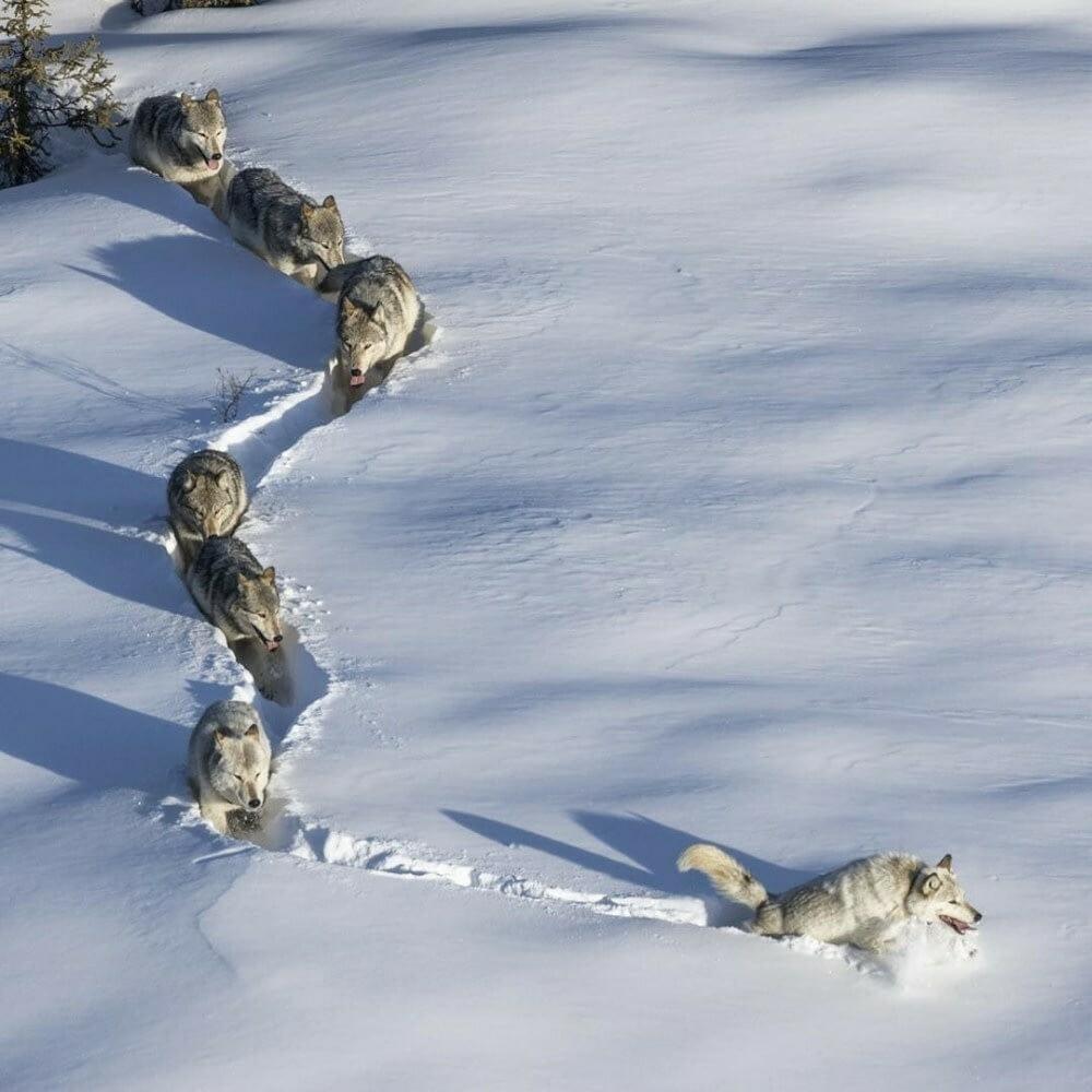 Зграю вовків веде не вовк, а вовчиця / instagram.com/natgeo