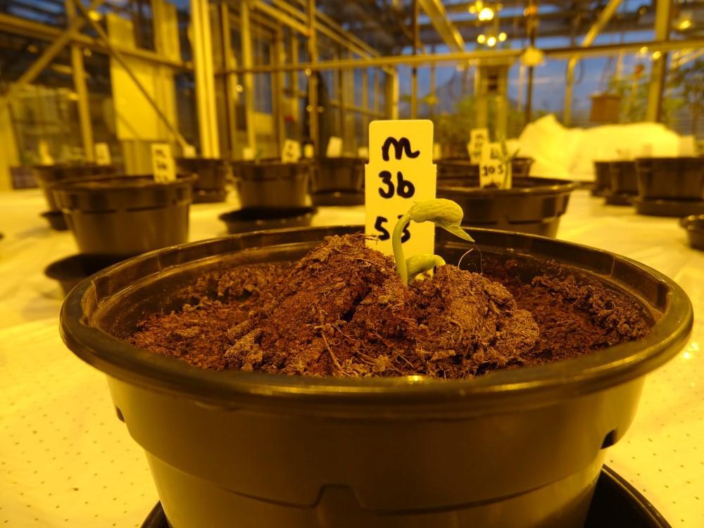 Вчені вирощували квасолю в марсіанському і місячному ґрунті / Фото: wur.nl
