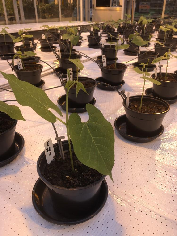 Вчені вже зібрали перші боби, вирощені із застосуванням добрива з людської сечі / Фото: wur.nl