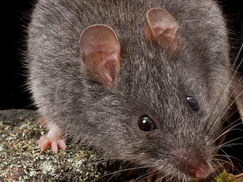 Дымчатые мыши полостью вымерли / Фото: Charles Sturt University