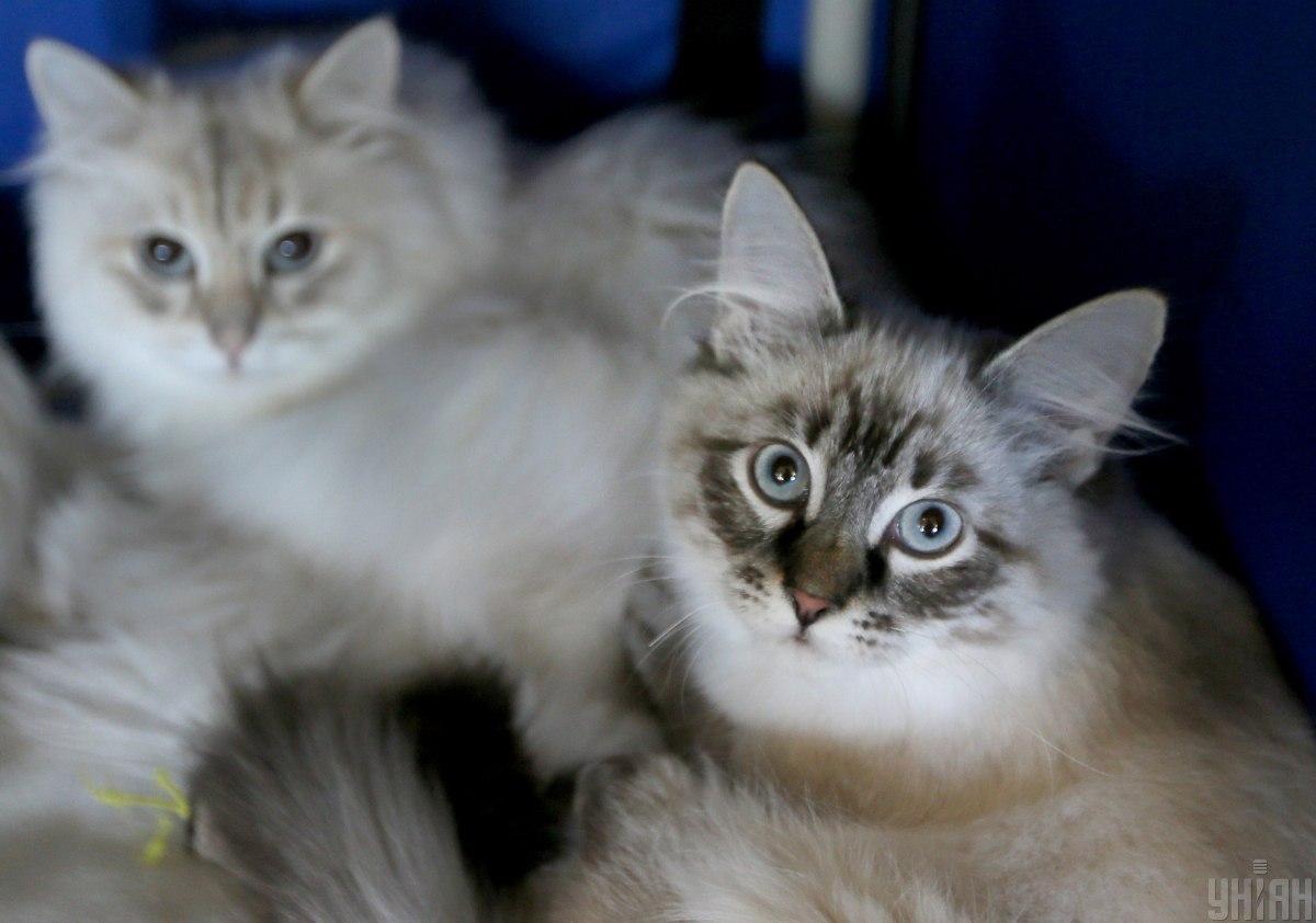 Коты могут передавать коронавирус / фото УНИАН