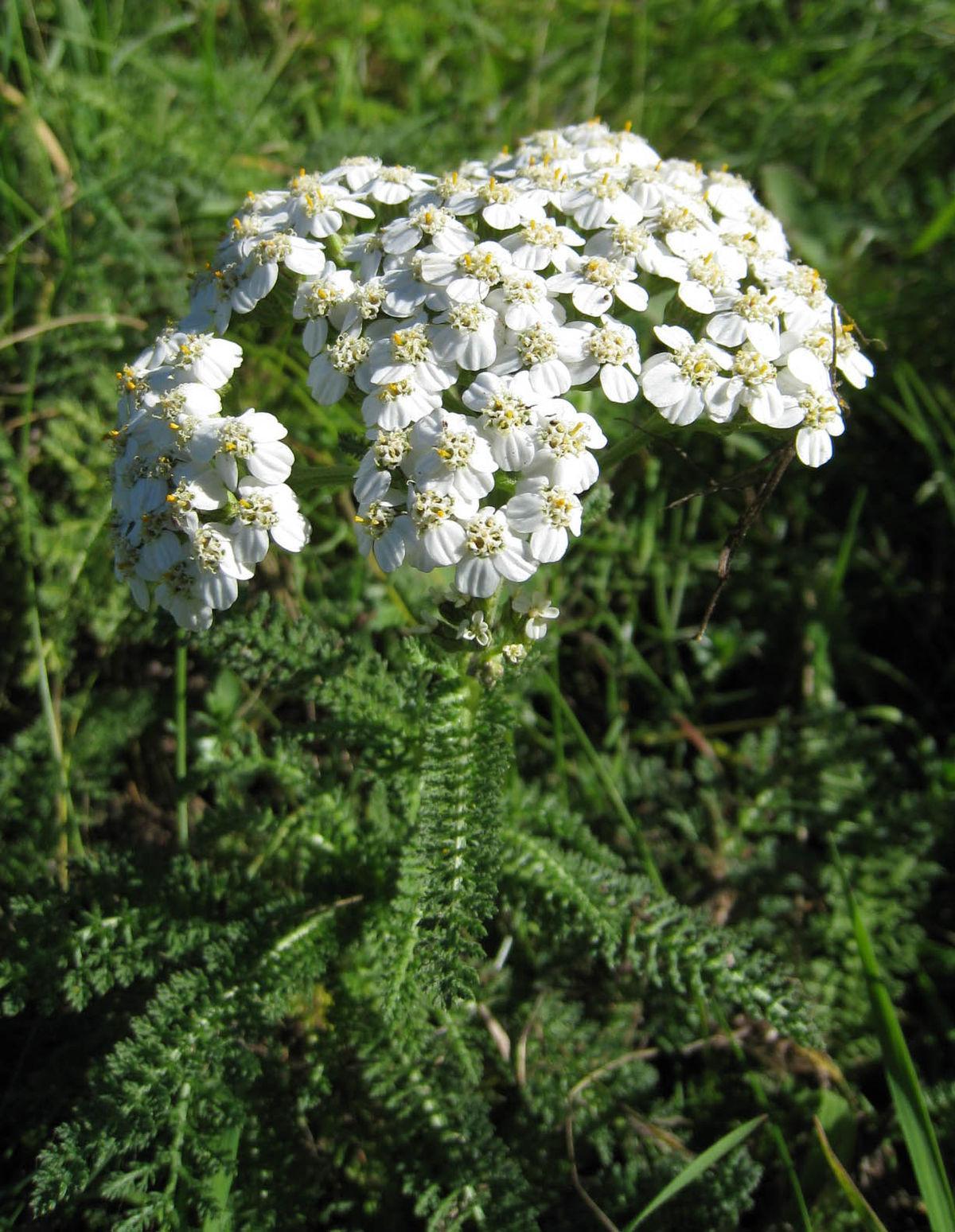 Растение обладает целым рядом полезных свойств \ Википедия