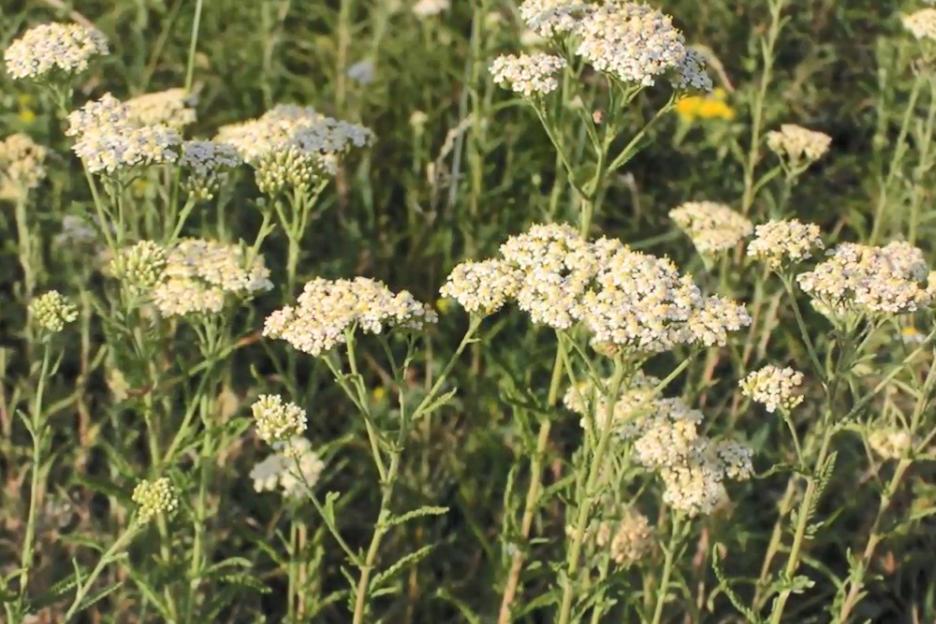 В лекарственных целяхиспользуют стебли с цветущими верхушками и цветки \ скриншот с видео