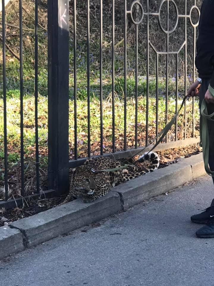 В Киеве парень выгуливал леопарда / фотоfacebook.com/vladlen.knysh