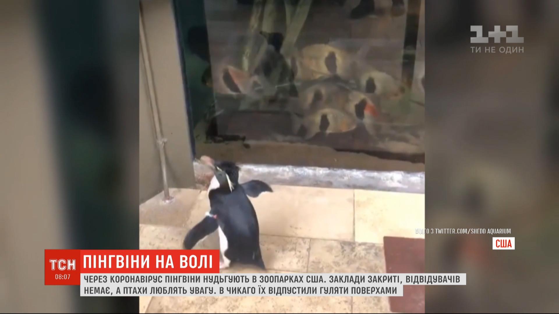 Зоологи обнародовали видео, как пингвины топчутся между аквариумов и с интересом рассматривают там рыбок / скриншот