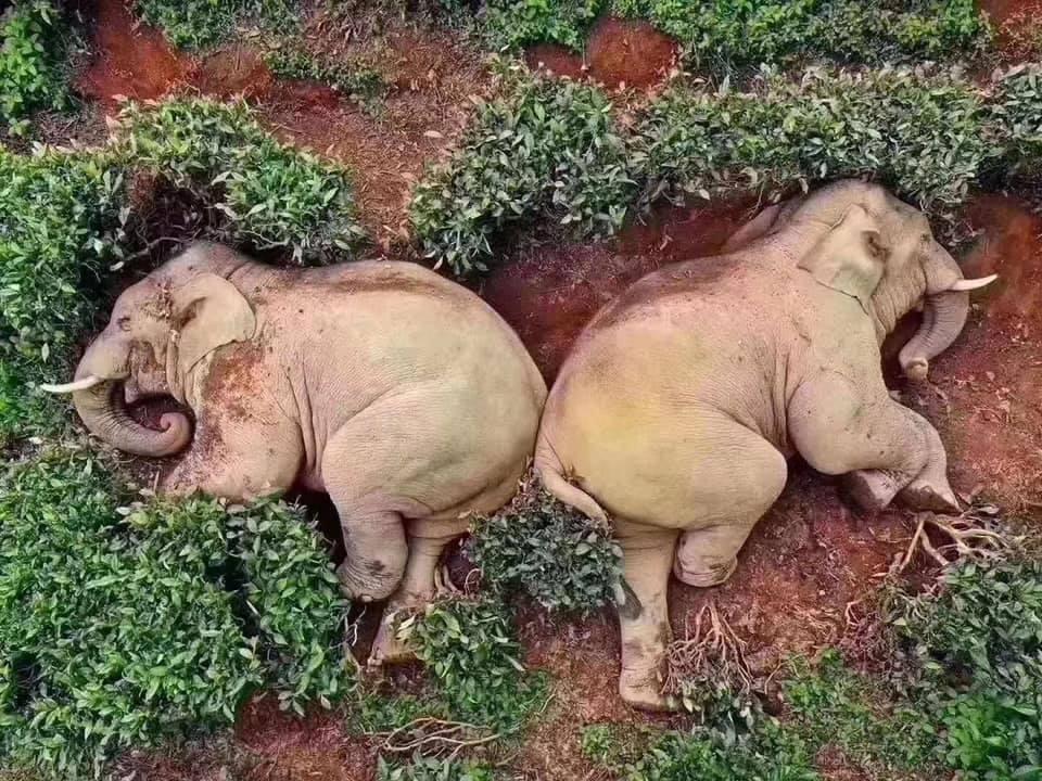 Пьяные слоны уснули в чайном саду / facebook.com/Epicalyptic