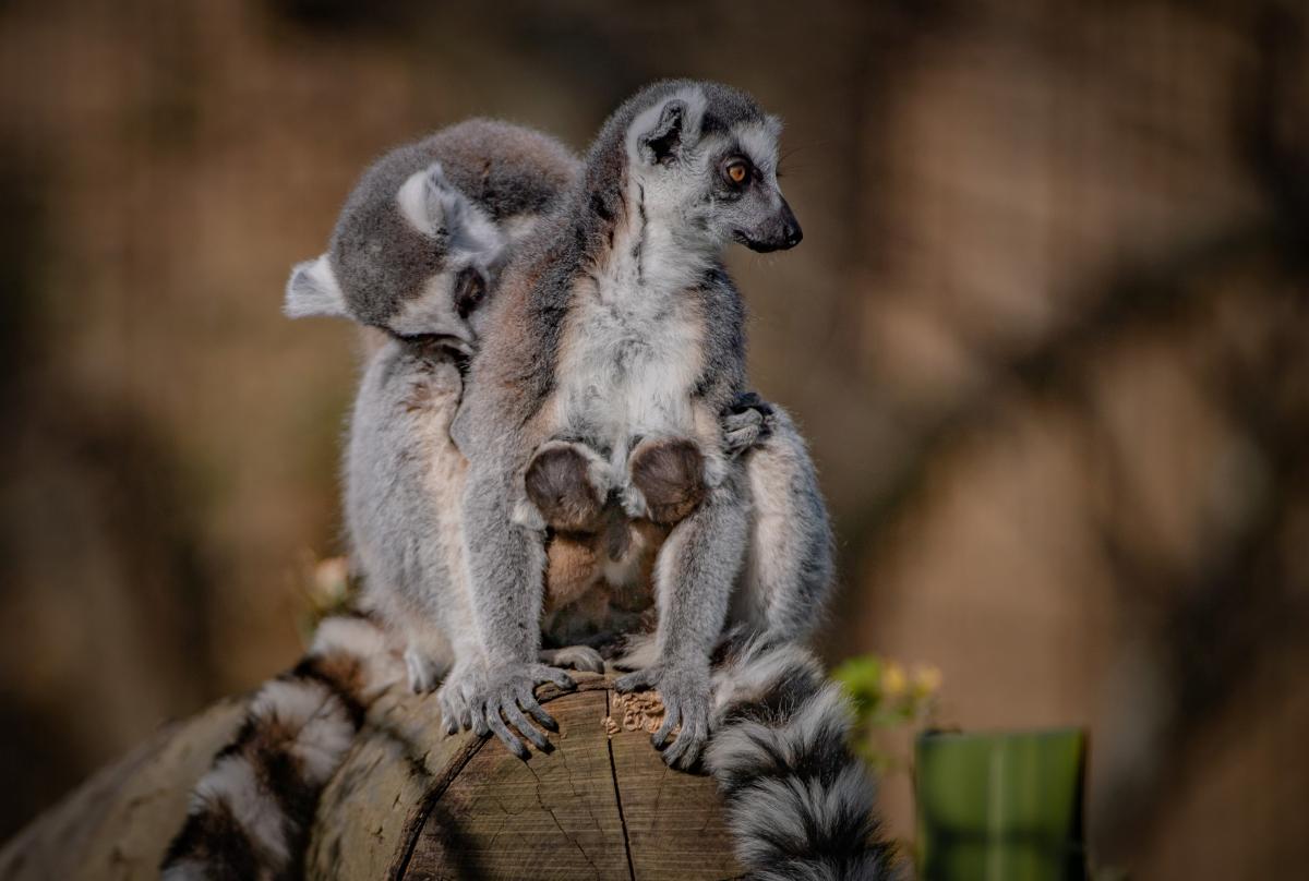 Лемуры считаются уязвимым видом / фото REUTERS