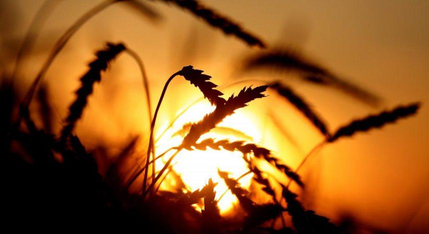 На Тернопільщині розікрали 2700 вагонів зерна з Держрезерву, передбаченого на випадок форс-мажору в країні