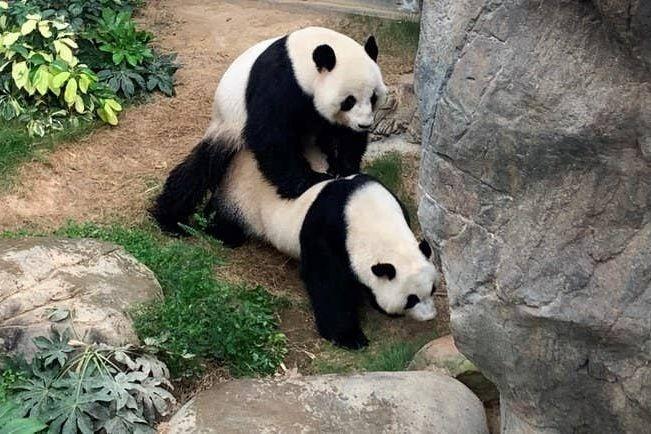 Панди почали поводитися по-іншому, коли зоопарк закрився на карантин / Фото: Ocean Park