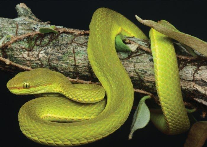 Исследование ДНК подтвердило, что эта змея относится к действительно особомувиду/ sciencealert.com