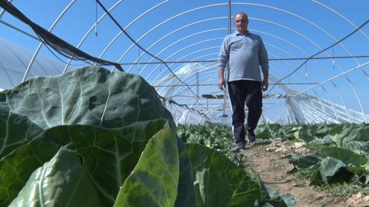 Фермер Ігор Садвар вже виростив п'ять соток капусти