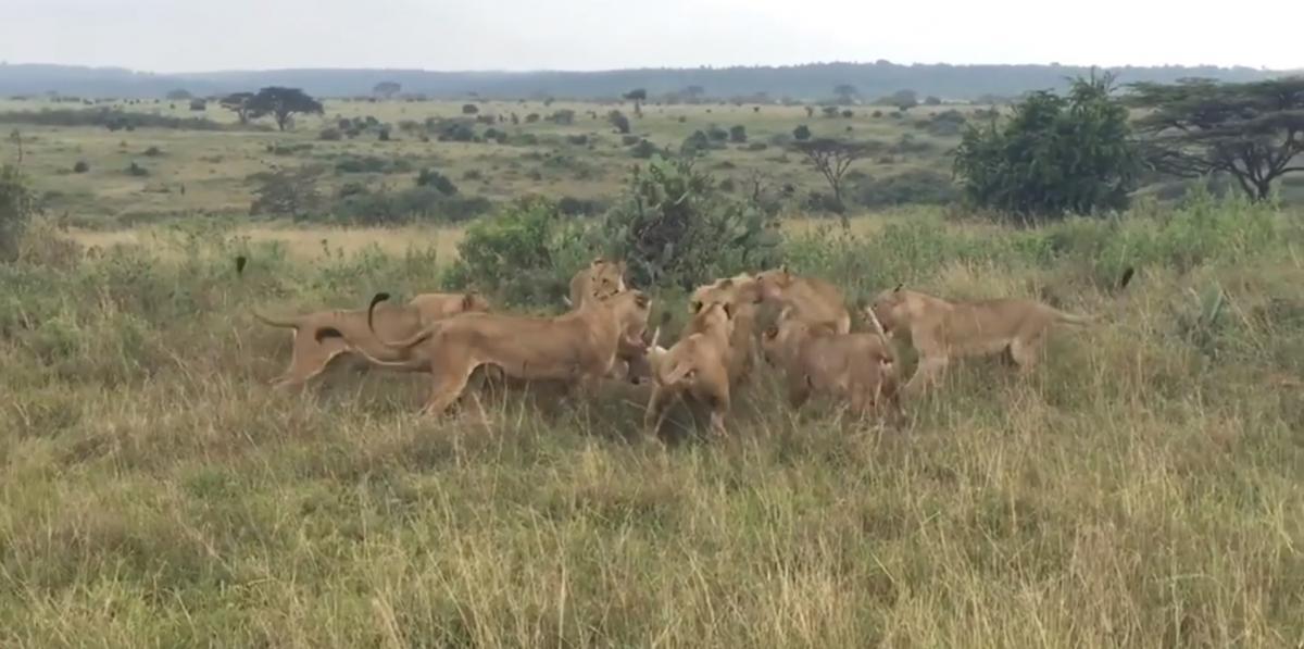 Львицы едва не загрызли льва-одиночку /скриншот из видео