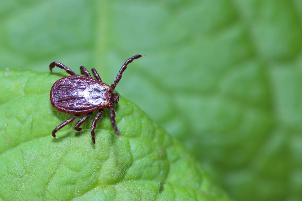 У японских клещей нашли новый опасный для людей вирус / фото ua.depositphotos.com