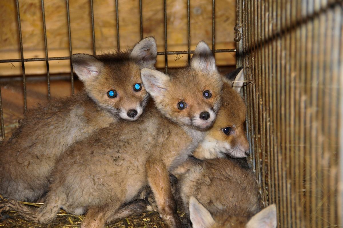 Лисята - еще одни временные жители приюта / фото Facebook Приют для диких животных