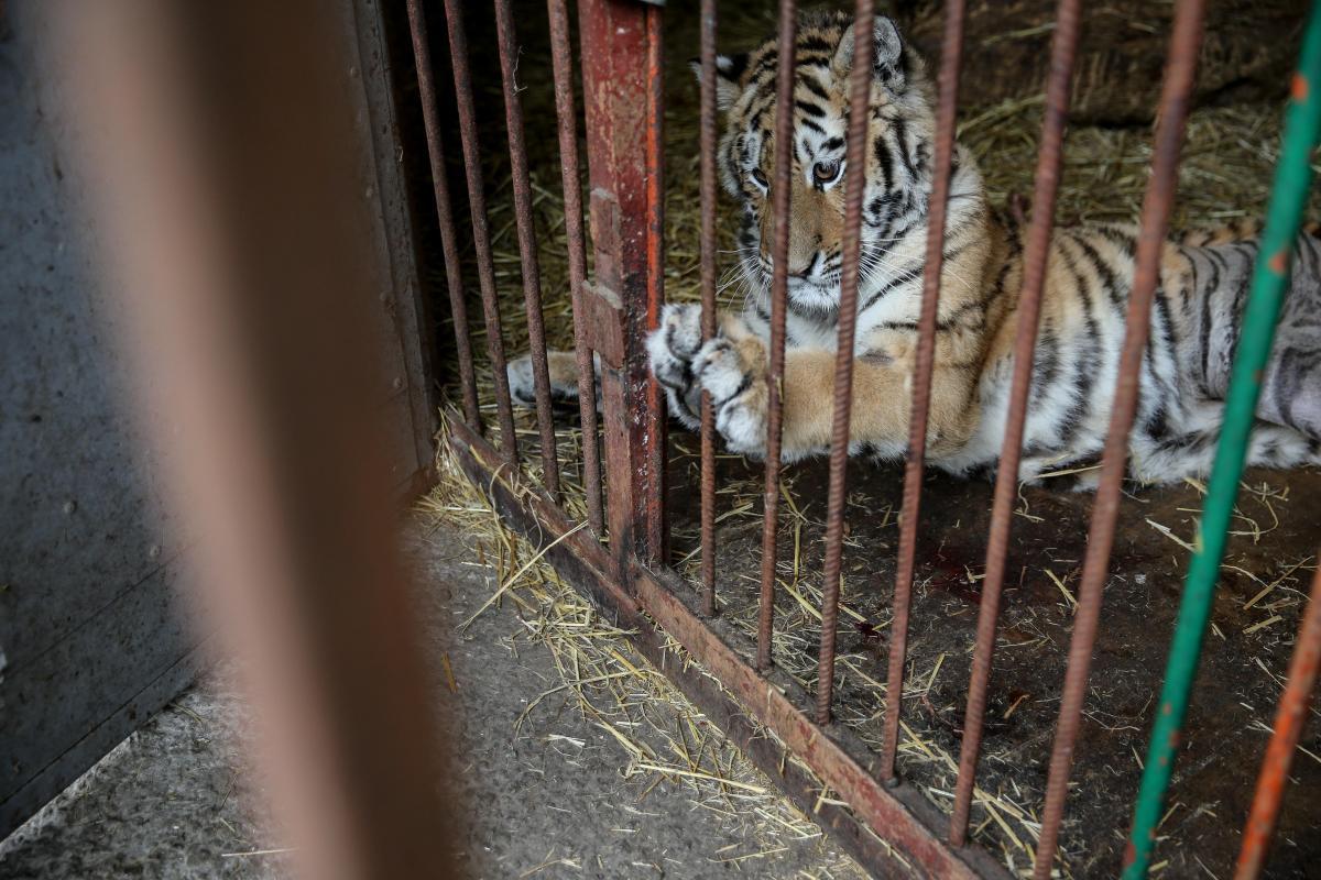 Тигров нашлина территории полузаброшенной резиденции одного из столичных бизнесменов / Фото УНИАН
