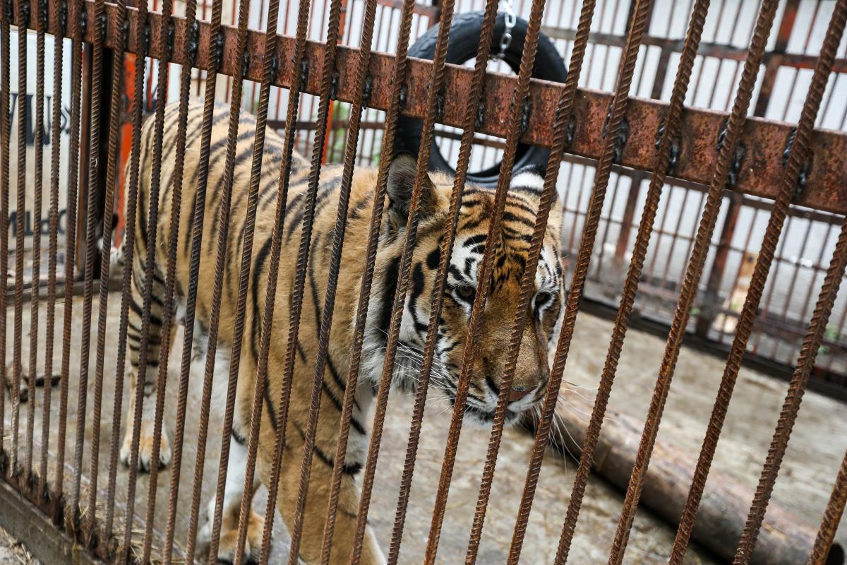 Всего в приюте находятся четыре тигра / Фото УНИАН