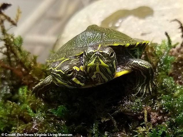 Маленькую черепаху передали в аквариум Музея живой природы/ фото: Virginia Living Museum