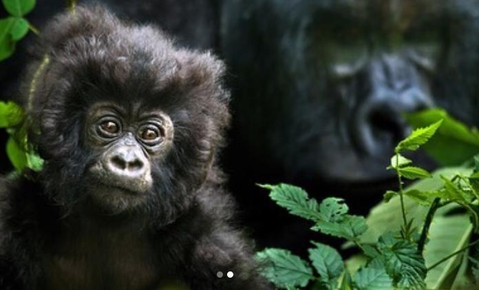 Гірські горили знаходяться під загрозою зникнення / instagram.com/leonardodicaprio