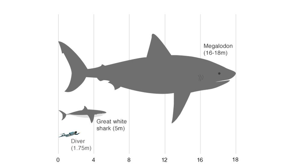 Порівняльні розміри людини, великої білої акули і мегалодона / фото bbc