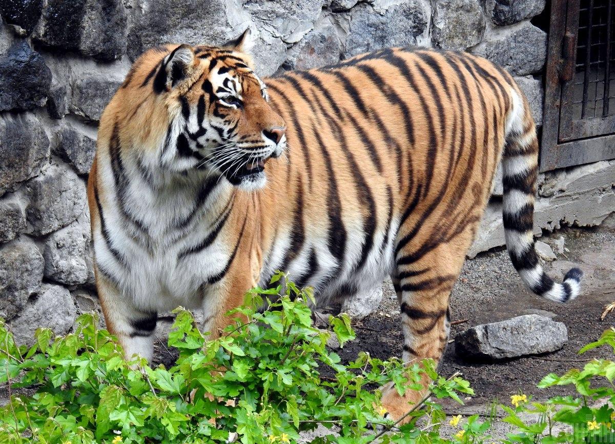 В дикой природе осталось всего несколько тысяч бенгальских тигров / фото УНИАН