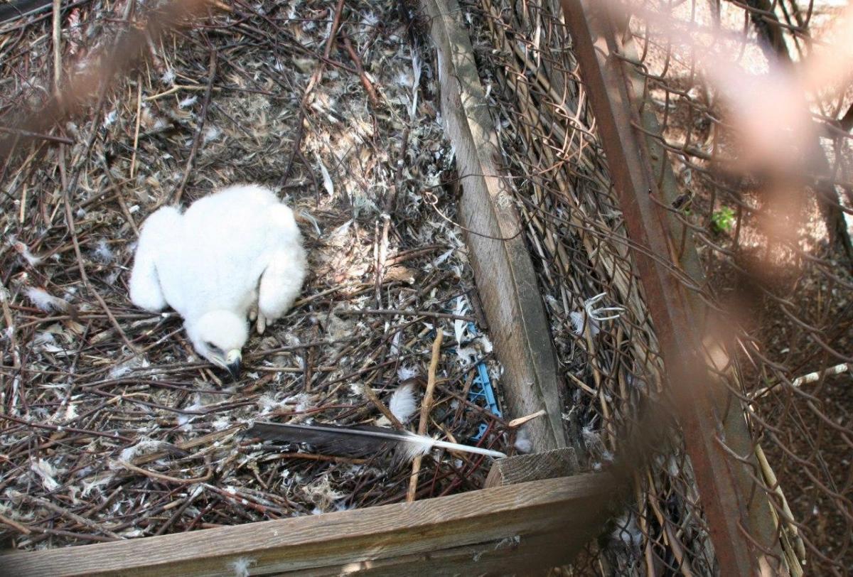 Птенец находится все время рядом с матерью / фото: Одесского зоопарка
