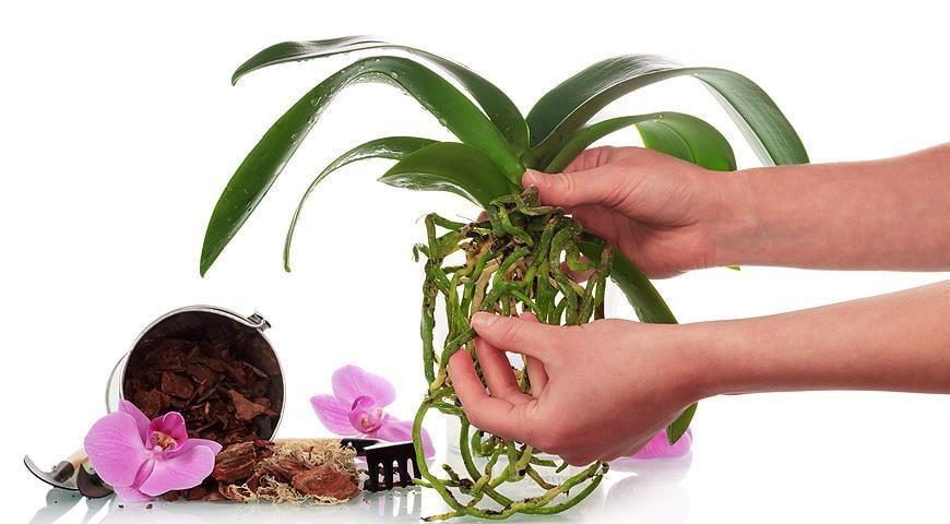 Янтарная кислота - что это, применение янтарной кислоты для орхидей и других растений / supersadovnik