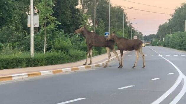 Лосиха з дитинчам переходить дорогу у Ворзелі/ Фото segodnya.ua