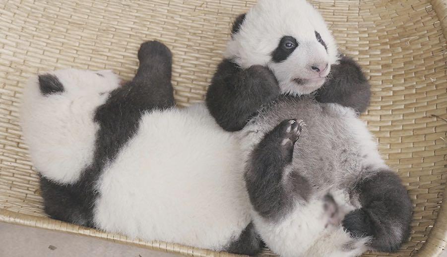 Люлиу и Шуньшунь родились 11 октября 2019 года/ фото Xinhua