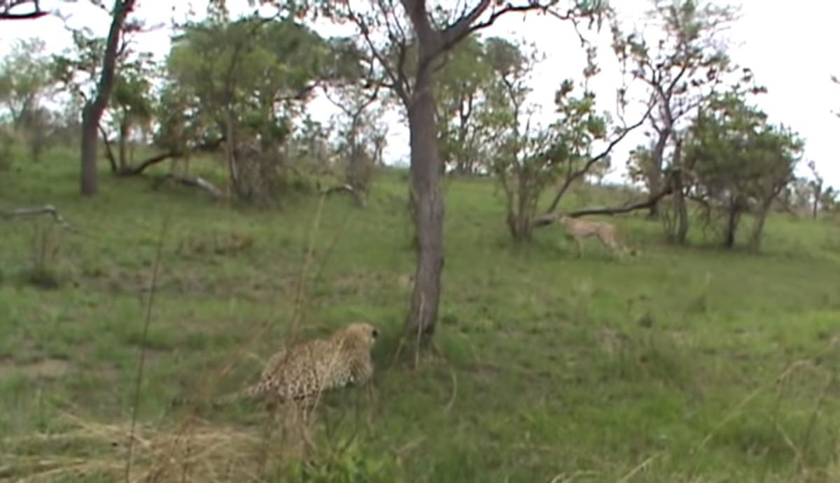 Гепард благополучно убежал / скриншот из видео