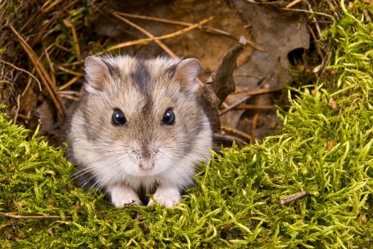 Хомяк обычный оказался под угрозой вымирания / фото ua.depositphotos.com