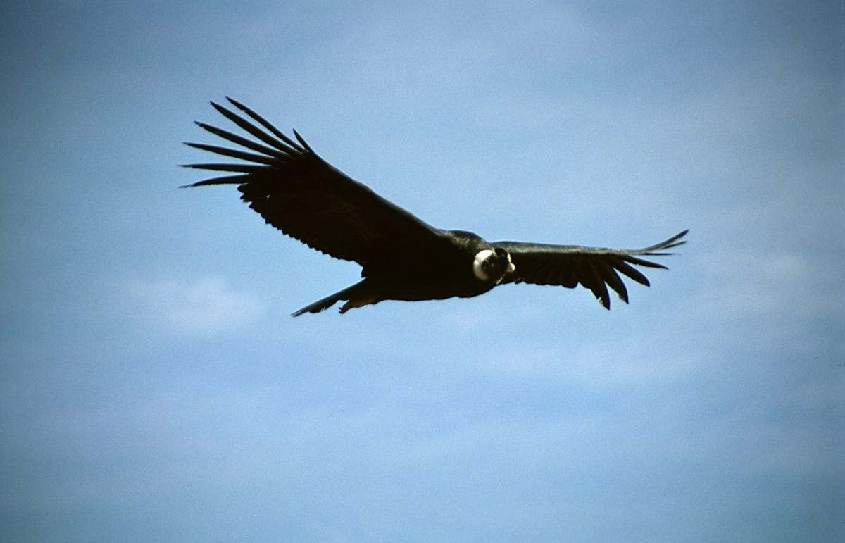 Андські кондори — стерв'ятники, і їм доводиться проводити в польоті довгі години в пошуках їжі / фото Wikimedia Commons