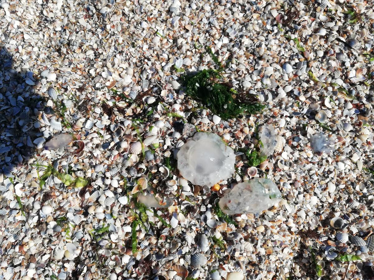 Бердянские медузы совсем маленькие / фото Марина Григоренко