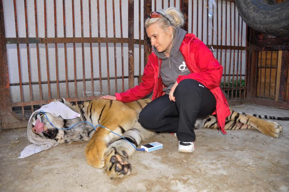В цирках тиграм удаленяют фаланги /фото facebook.com/maryna.shkvyria