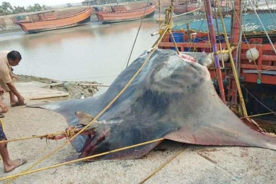 Спійманий скат важить 800 кг/ Фото kalingatv.com